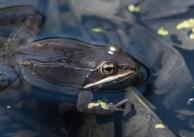 grenouille des bois3 (1 sur 1)
