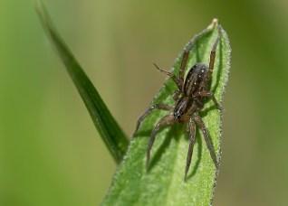 araignée feuille (1 sur 1)