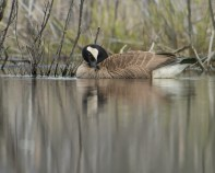bernache nettoie plumage (1 sur 1)