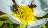coléoptères fleur3 (1 sur 1)