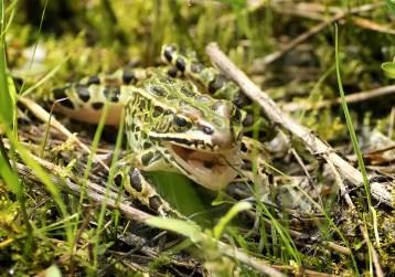 grenouille mouche (1 sur 1)