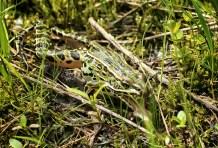 grenouille sort la langue (1 sur 1)