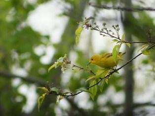 paruline jaune (1 sur 1)