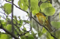paruline jaune mâle (1 sur 1)