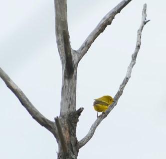 paruline jaune6 (1 sur 1)