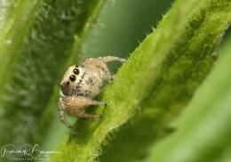araignée sauteuse5 (1 sur 1)