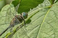 libellule (1 sur 1)