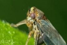 cicadelle (1 sur 1)