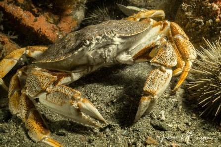 crabe commun 4 (1 sur 1)