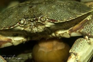 crabe commun face3 (1 sur 1)