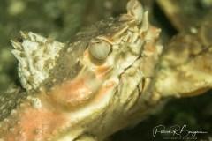 crabe balane (1 sur 1)