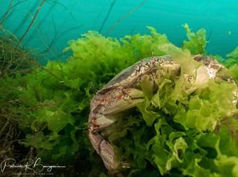 crabe laitue (1 sur 1)
