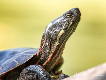 tortue peinte portrait (1 sur 1)