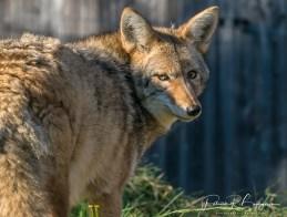 coyote3 (1 sur 1)
