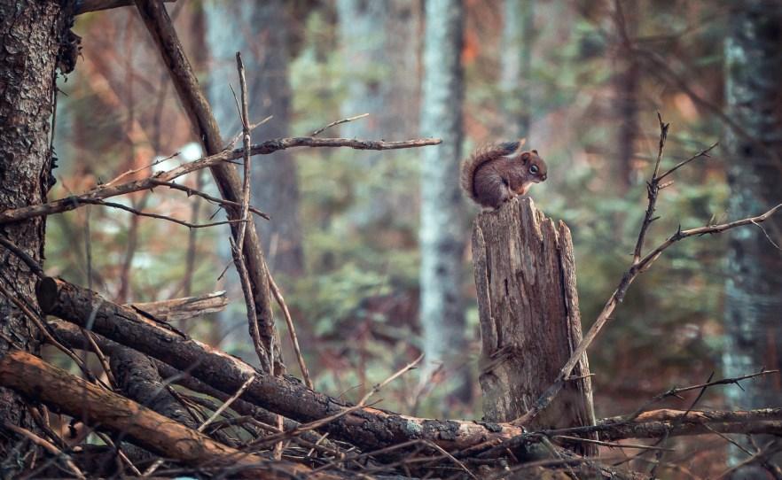 écureuil souche3 (1 sur 1)