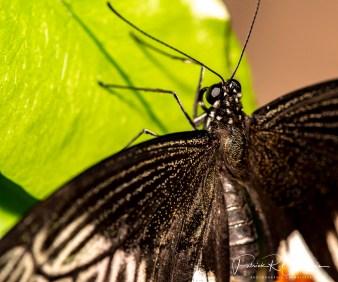 papillon10