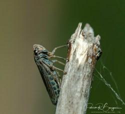 cicadelle3