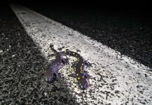 salamandre8