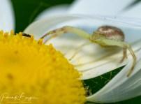 araignée affût