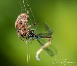 araignée leste5
