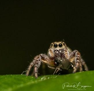 araignée-sauteuse7