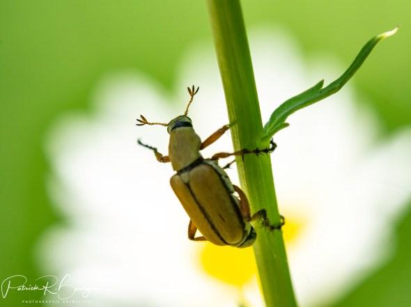 scarabé du rosier