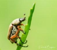 scarabée2