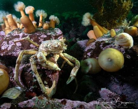 crabe araignée2