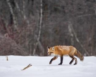 renard reste