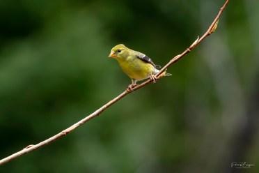 chardonneret jaune3
