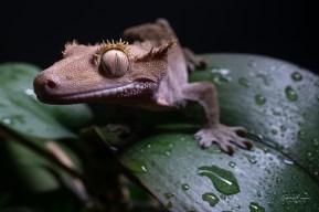 gecko5