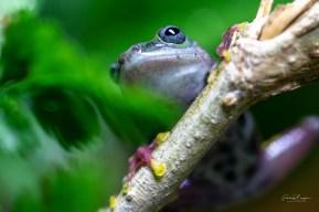 hyperolius concolor