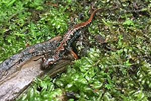 A salamander in a spring in the Great Smoky Mountains National Park.