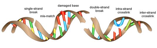 types of DNA damage