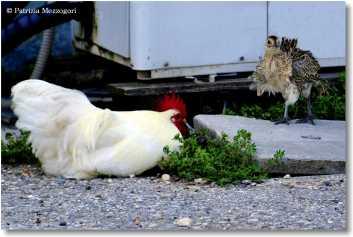 7 - gallo e fagianino
