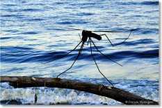 4 - zanzara