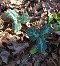Trillium cuneatum Little Sweet Betsy
