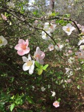 Cydonia sinensis 'Toyo-Nishiki' (Chinese Quince)