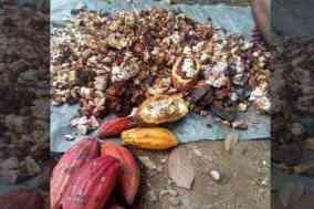 Buah hasil petani kakao di desa Batetangnga yang mengalami serangan hama