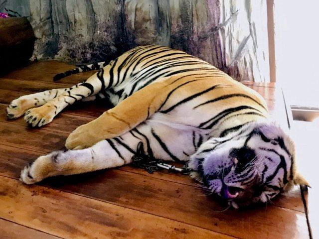寝ているトラ