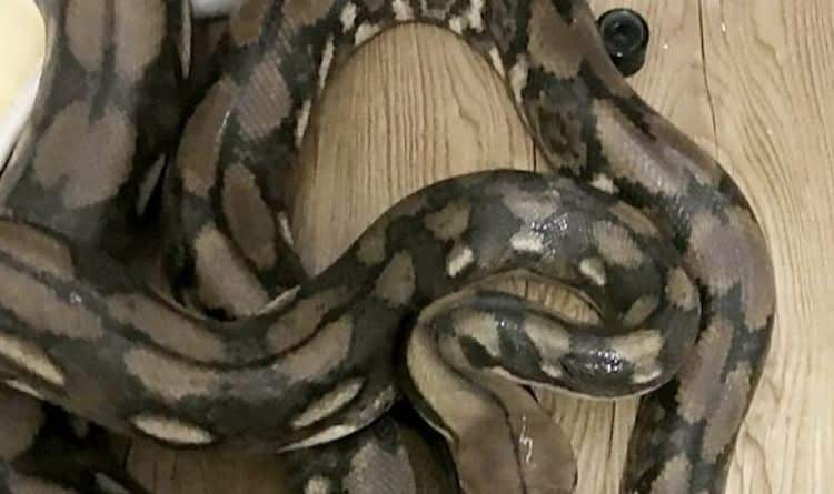 14 foot Python found by surprised man in public toilet, amazing video