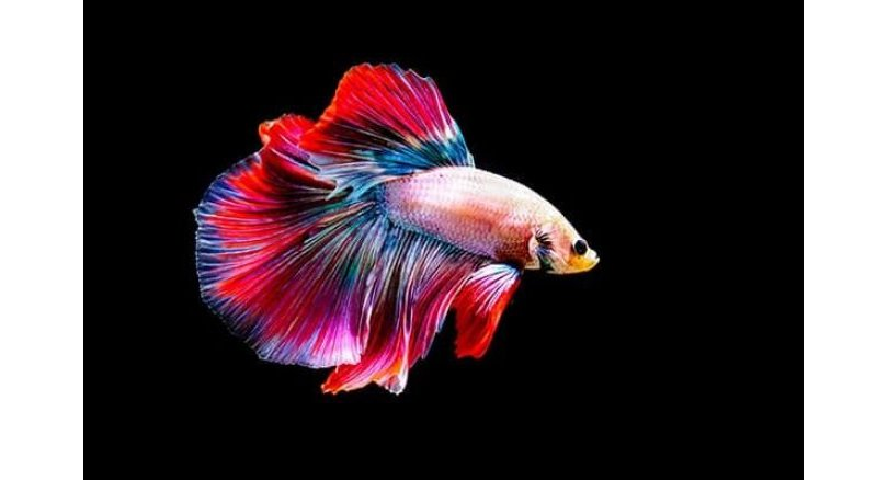 Fighting fish becomes national symbol in boost for industry