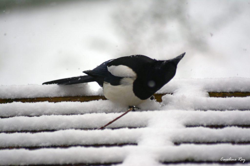 Pie sous la neige
