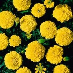 Yellow marigolds
