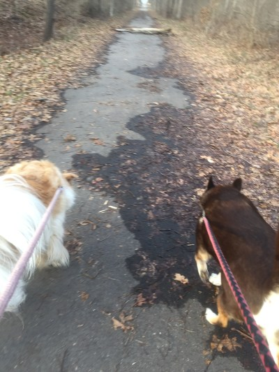Honey and Milo pulling me toward the obstruction.
