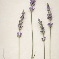 A-Z Photo Project | L is for Lavender