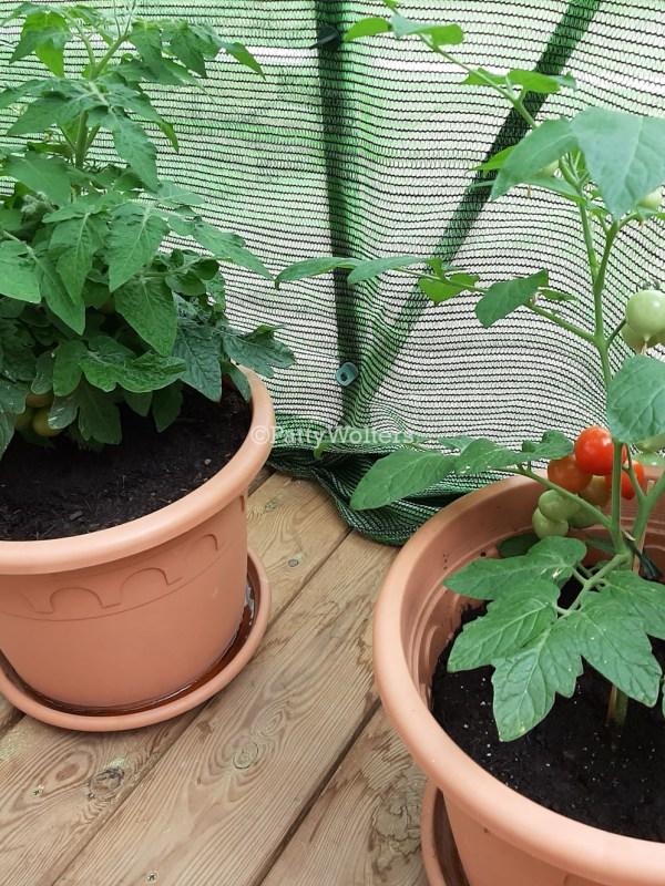 kleine tomaatjes 2020