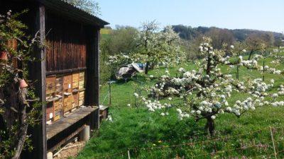 Bienen und Kirschblüte
