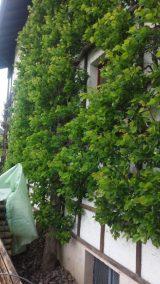 Der Aprikosenbaum an der Hausfassade