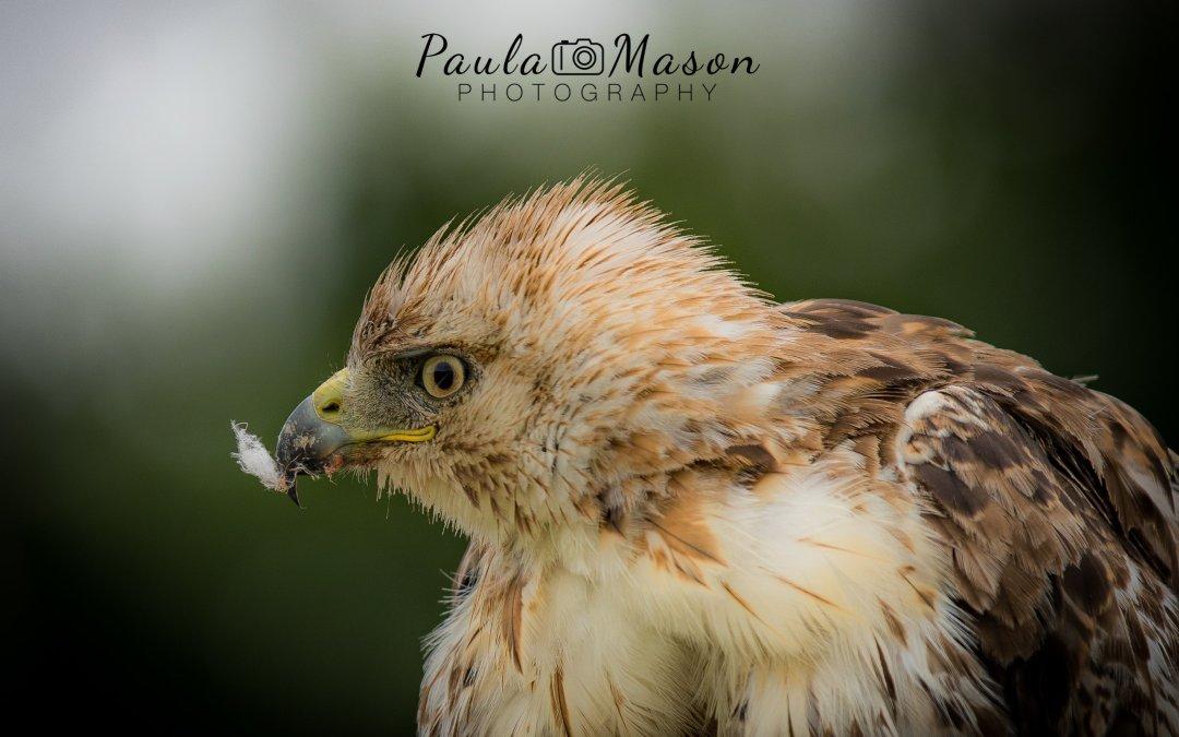 My Injured Hawk…